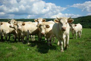 Les vaches de la Ferme Bichet, viande de boeuf charolais bio à la ferme traditionnelle, dans leur domaine et prairies naturelles. Livraison fraîcheur, Charcuterie, Fromagerie et Epicerie, cuisinez nos colis 5 à 10 kg pour repas de qualité et de goût.